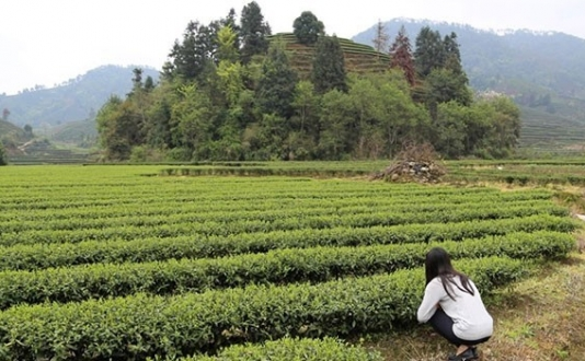 Image of Asha's organic tea farm